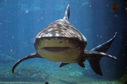 A shark, swimming towards the camera.