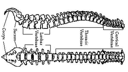 Diagram of a human spine