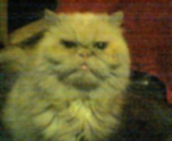Lucy, Cream Persian cat